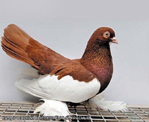 Камышинские голуби