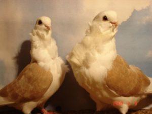 Китайские чайки голуби