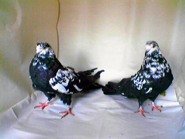 Мурая порода голубей