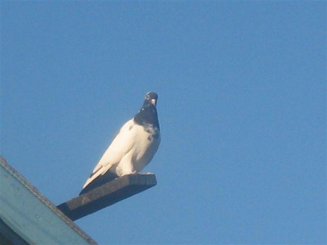 Нежинские голуби