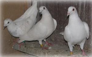 Содержание голубей зимой фото