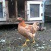 Птицеводство в России