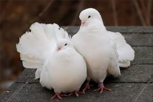 Белые домашние голуби