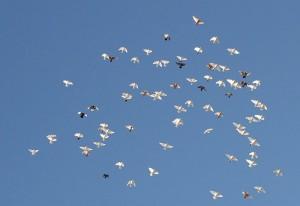 Домашние голуби в полёте
