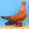 Берлинский короткий голубь фото