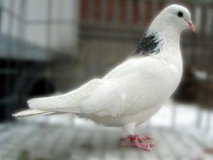 Голубь гривун фото