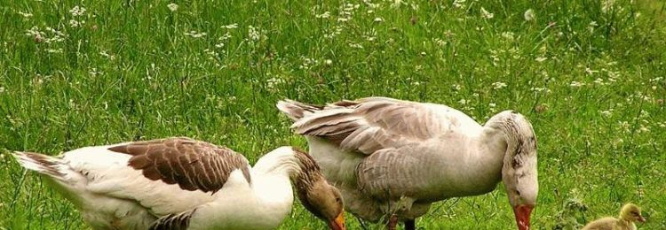 Разведение гусей на даче