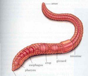 Строение дождевого червя