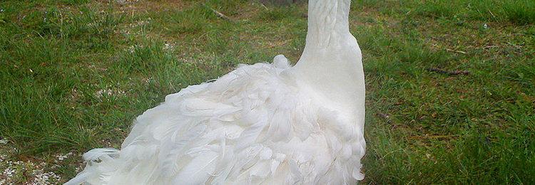 Гуси курчавой породы