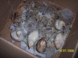 Ящик для цыплят своими руками