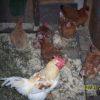 Домашнее содержание кур