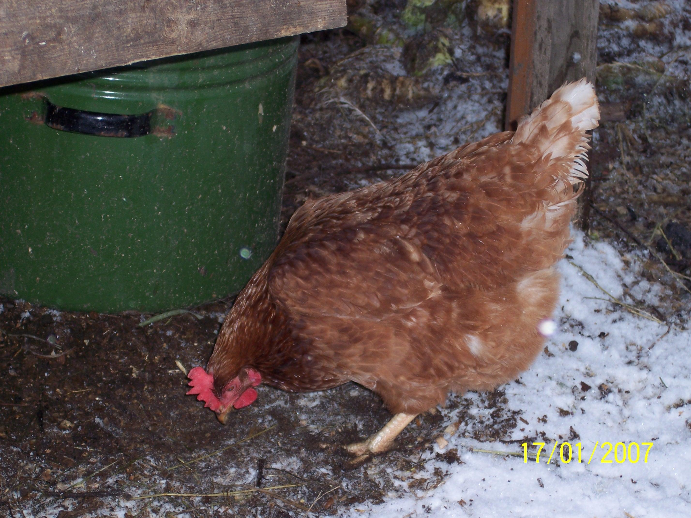 Почему курица перестаёт нести яйца