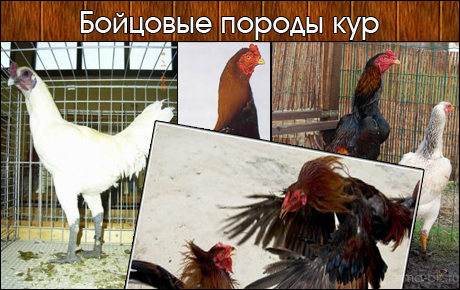 Бойцовские породы кур