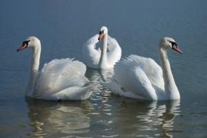 Братья лебеди фото