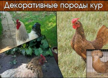 Декоративные породы кур