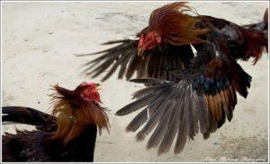 Индийские бойцовские куры