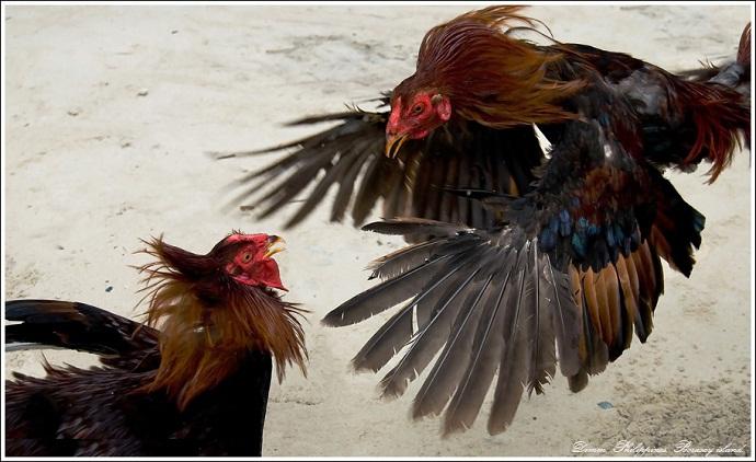 Индийская бойцовская порода кур