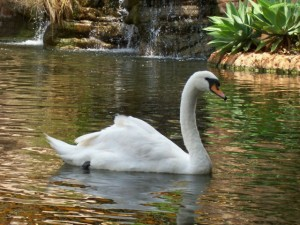 Красивый белый лебедь фото