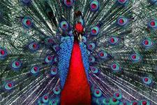 Красный павлин фото