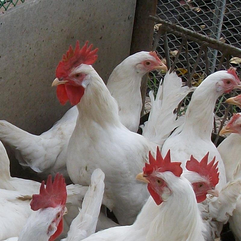 Как увеличить яйценоскость кур?