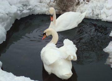 Содержание лебедей зимой