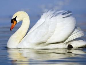 Лебедь на воде фото