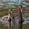 Размножение и разведение лебедей