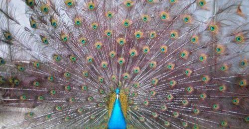 Разведение павлинов - размножение