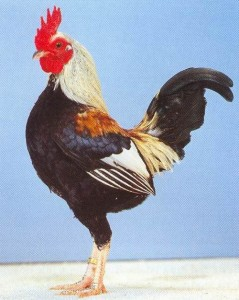 Староанглийская карликовая бойцовая порода кур