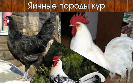 Все яичные породы кур