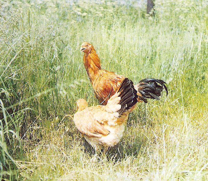 Малайская бойцовская порода кур