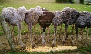 Кормление страусов в домашних условиях
