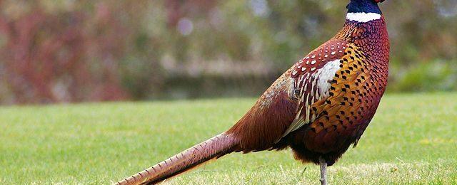 Домашние фазаны