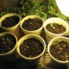 Посев семян помидоров
