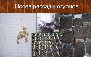 Посадка семян огурцов на рассаду