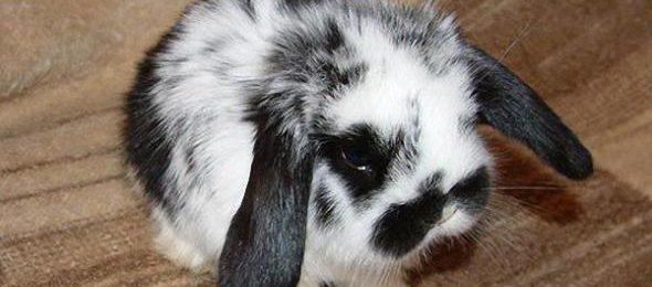 Разведение декоративных кроликов как бизнес