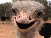 Разведение страусов бизнес идея