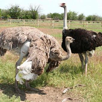 Размножение страусов