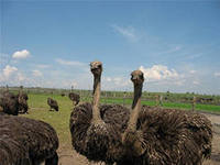Корма для страусов