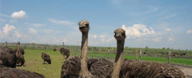 Содержание страусов в домашних условиях