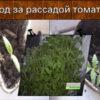 Уход за рассадой томатов, помидоров