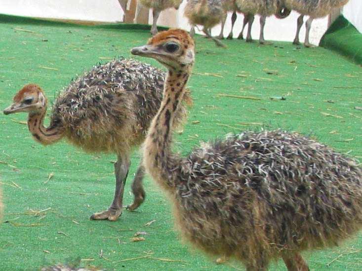 Уход за страусятами