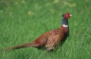 Домашний фазан фото