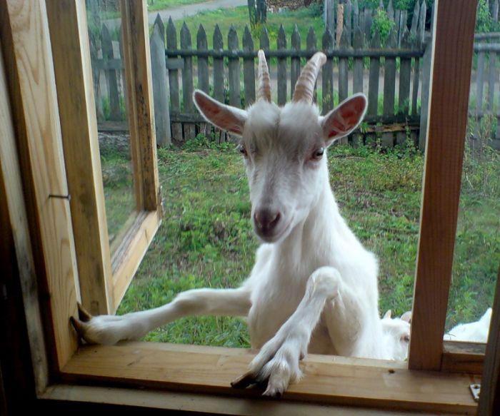 Как выбрать молочную козу?