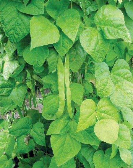 Посев семян фасоли в открытый грунт