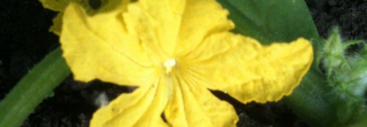 Цветение огурцов фото