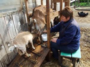 Способы доение коз
