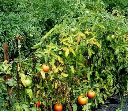 Почему желтеют листья помидор