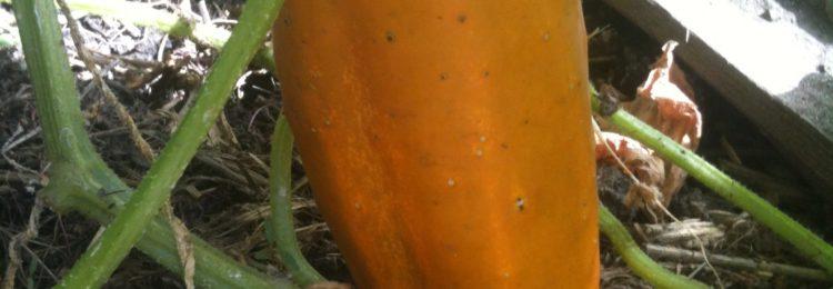 Получение семян огурцов