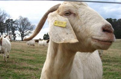 Мясо козы